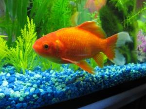 Золотая рыба изобилия фэн-шуй для богатства