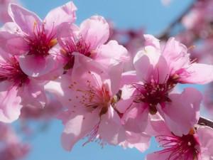 Если Вы одиноки – поможет цветок персика